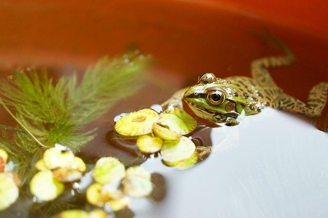 水槽の中の蛙